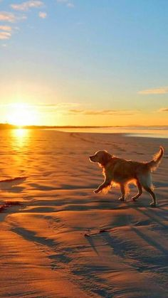 I Love My Golden Retriever — golden on the beach