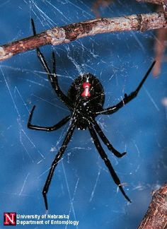 """As with all widow spiders, only the female of the species is considered dangerous. The much smaller male is considered harmless. Western Black Widow spiders are nocturnal, which means they are active during the nighttime. They spend most of their time hanging """"upside down"""" in their web, which often makes the hourglass marking immediately visible.    Western Black Widow spiders are typically not aggressive, and bite as a defensive measure when they are attacked or feel threatened."""