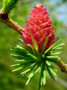 Female Flower of European Larch : Photos, Diagrams & Topos Larch Tree, Bach Flowers, Beautiful Photos Of Nature, Bird Species, Bright Green, Flower Photos, Pine Cones, I Tattoo, Succulents