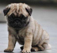 Shy Pug puppy