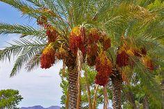 palm, DATE PALM tree, phoenix dactylifera, edible fruit, 5 seeds! GroCo#