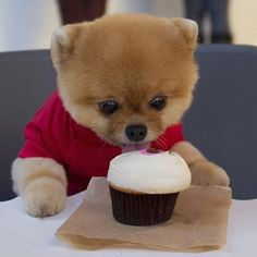 Jiff-the-Pomeranian-dog-cutest-foodie-instagram-06