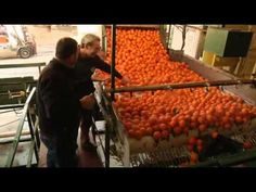 How oranges are grown, harvested and shipped by Curiosity Quest