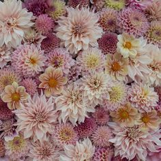 Print Blush Dahlia Ombre by Floret Shop