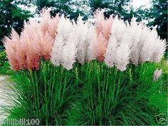 500 Pampas Grass Seeds- blend (Cortaderia selloana) - fast growing -Perennial