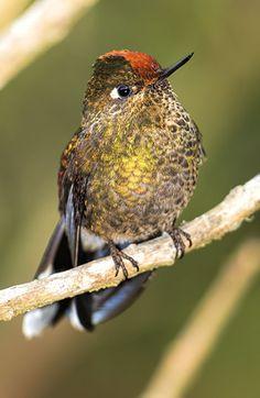 http://faculty.ucr.edu/~chappell/INW/birds4hummerswoodpeckers/rainbowbeardedthornbill043.jpg