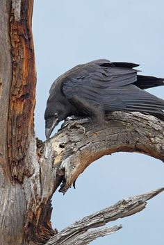 Young raven (Photographer: Norman Rich)