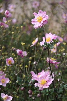 Anemone hybrida 'Königin Charlotte' (herfst anemoon) prachtige herfstbloeier, mooi in grote groep, mooi bij siergrassen, hebben tijd nodig om zich te vestigen