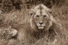 Der König der Tiere, ein Löwe