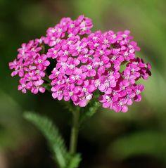 Common Yarrow 'Island Pink' (Achillea millefolium var. rosea) - punakärsämö
