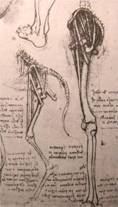 Drawing of the comparative anatomy of the legs of a man and a dog - Leonardo da Vinci
