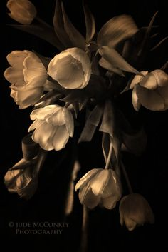 tulips sepia still life photography spring by judeMcConkeyPhotos