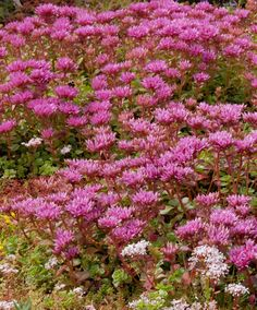 Red Stonecrop groundcover that does well in the shade under trees and shrubs