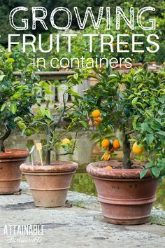 Urban fruit! Want to harvest fruit from your small yard? Consider growing fruit trees in pots.