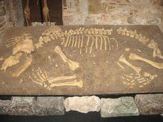 A cave bear skeleton.  Esquelet d'un ós de les cavernes.  Esqueleto de un oso de las cavernas.