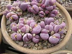 "Lithops optica (Living Stones) ""Rubra"" - houseplant."