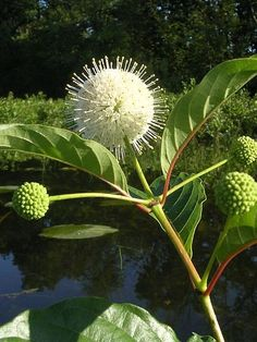 Cephalanthus occidentalis - Produces Nectar in profusion (and some Pollen) for Honeybees, long and short-tongued Bumblebees, Solitary bees, and is also visited by butterflies, moths and beetles.