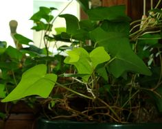 Ivy can make a wonderful, bright light houseplant. Growing ivy indoors is easy as long as you know what makes an ivy plant happy. Learn more about ivy and proper ivy plant care in this article.