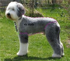 Old English Sheepdog Grooming- Haircut: Sport Clip