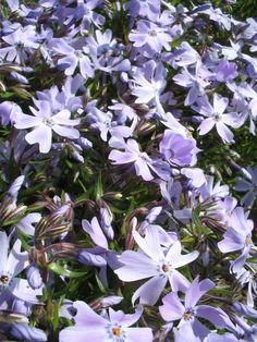Kruipvlambloem (Phlox subulata 'Emerald Cushion Blue') dichte zode