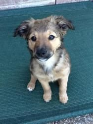 Cali is an adoptable Shepherd Dog in Dallas, TX. My name is Cali and I'm the sweetest, friendliest little girl on the planet. I'm a border collie/shepherd/Heinz 57 kinda of girl - you know, an AMERICA...