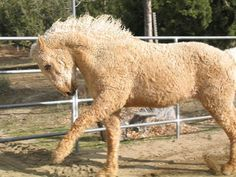 Bashkir Curly Horse. The poodle of horses. More