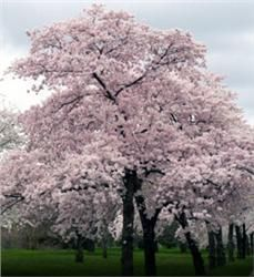 Japanese Flowering Cherry (aka Yoshino Cherry) - $8.98 This spectacular ornamental  tree (and its fragrant, white-pink blooms) is famous for its role in the Macon Cherry Blossom Festival and the NAtional Cherry Tree Festival in D.C.