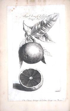 Botanical - Black and white - Fruit - Limeon -Orange 5