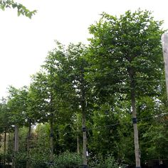 Carpinus betulus (Box Head) - Hornbeam - Pleached and Trained - Majestic Trees