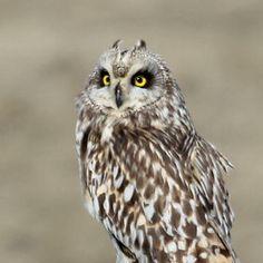 Short-eared Owl by 500px / Aaron J. Groen