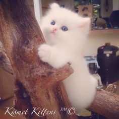 ❤️Kismet Kittens: For Sale New litter White Doll Face Persian Kittens To Reserve:  Text: 813-409-8418 Email: Persiankittyinfo@aol.com Web: www.KismetKittens.com Shipping Available 1 Year Health Guarantee  1 St. Vaccines Health Certificate  Professional, Experience, Knowledgeable Breeder  #teacupkittensforsale, #persiankittens,#toy, #whitekittens, #dollface, #catbreeders, #florida, #toykittens, #kittens, #pet