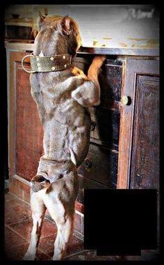 Pitbull #bully #americanbully #dogs #cute #puppies #Bulldog #Pittbull #bully #americanbully #dogs #cute #puppies #Bulldog #Pittbull