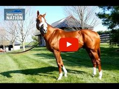 California Chrome thriving at Taylor Made Farm (VIDEO) - Zipse At The Track - Horse Racing Nation