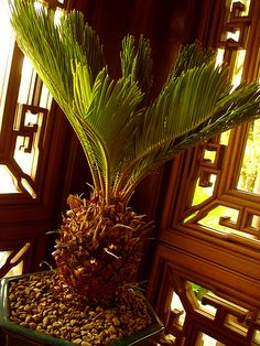 Sago Palm in Chinese Classical Garden