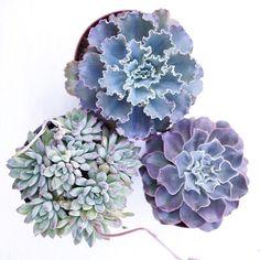 Beautiful shades of blues in this succulent trio! Photo by Dalla Vita.