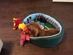 """""""Like me, Dixon the dachshund cannot wait for Baylor Football to start..."""" (Via @Mattlinn01 on twitter)"""