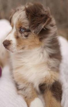 So I lost my Australian Shepherd about 6 months ago. I have just recently decided I am ready to get a new friend. He is a red merle with 1 blue and 1 green
