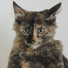 Chastaine is a sweet kitten who is available or adoption at our Mission campus!