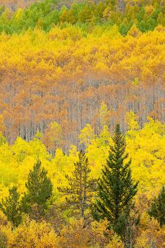 Monarch Pass, Rocky Mountains, Colorado, US Salida Colorado, Colorado Homes, Colorado Springs, Moving To Colorado, Tree Forest, Autumn Forest, Scenery Pictures, Rocky Mountains, Science Nature