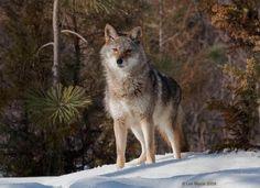 Coyote 4