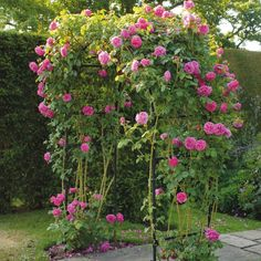 Mme. Isaac Pereire - Pink - Shop by Color  this rose grows as a bush or a climber; very fragrant