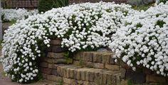 Scheefkelk een ideale bodembedekker bloeit van april tot juni.
