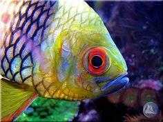 Sphaeramia nematoptera Pajama perch on Flickr.Via Flickr: photo by Abenteuer Miniriff