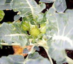 Hämmentäjä: Puutarhapäivitys kesä-heinäkuun taitteesta. Parsakaali. Broccoli.