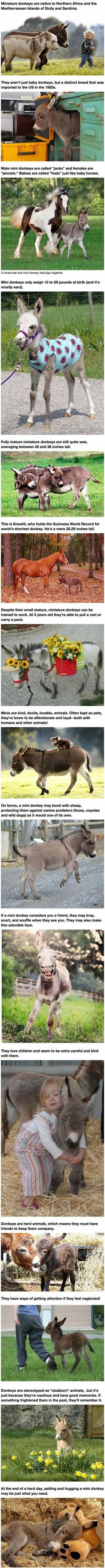Mini Donkeys Are The Perfect Pets http://ibeebz.com