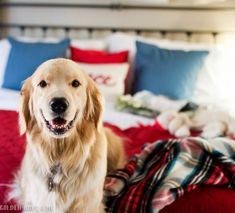 Golden retriever in master bedroom with Christmas decor