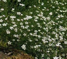 Tunica saxifraga, Petrorhagia saxifraga - S-T - A-Z Botanical Name - Flowers Seeds