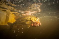 Knowing How to Gear Fish for Bass Will Catch You More Trout on Flies Fly Fishing For Bass, Kayak Fishing, Fishing Tips, Fishing Basics, Bait Caster, Australian Bass, Spinner Bait, Bass Boat, Largemouth Bass