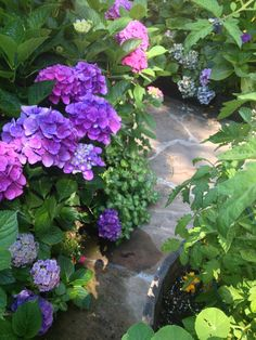 Gorgeous hydrangeas along the path to garden delights.