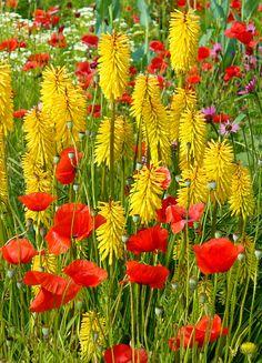 poppies & kniphofia